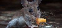 Как навсегда избавиться от мышей в квартире: чего они боятся, средства и методы борьбы