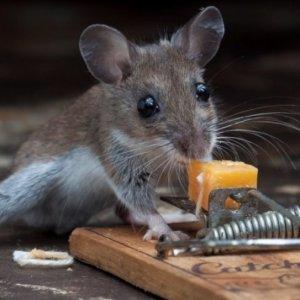 Как избавиться от мышей без кошки
