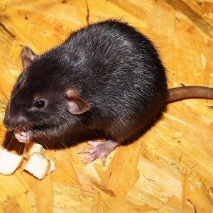 Как прогнать мышей из квартиры