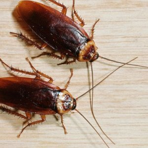 Ловушки для тараканов самые эффективные